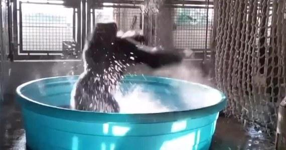 Gorylica Zola została nagrana jak tańczy w trakcie kąpieli. Wideo udostępnione przez pracowników Zoo w Dallas zdobyło ogromną popularność wśród internautów.