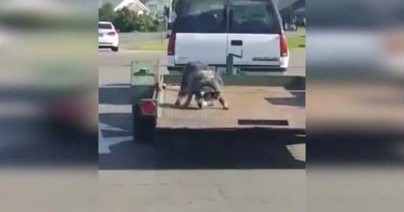 """W mieście Paducah w Stanach Zjednoczonych mężczyzna przywiązał psa na swojej przyczepie i ruszył z nim w trasę. Wideo, na którym widać wystraszone zwierzę, trafiło do sieci. Wrzucił je Andi Korschgen. """"Opublikowałem materiał po to, by ludzie byli świadomi, że to nie jest właściwy sposób na przewożenie zwierząt. Doskonale widać, że pies miał linę przymocowaną do szyi"""" - powiedział Korschgen, który o nieludzkim zachowaniu kierowcy poinformował policję. Mężczyznę ciężko będzie namierzyć, bo w materiale wideo nie widać rejestracji samochodu."""