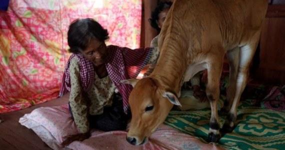 Pewna wdowa z Kambodży w wieku 74 lat ponownie wyszła za mąż. Nie byłoby w tym nic dziwnego, gdyby nie fakt, że jej wybrankiem jest… cielak. Kobieta głęboko wierzy, że to kolejne wcielenie jej zmarłego męża.