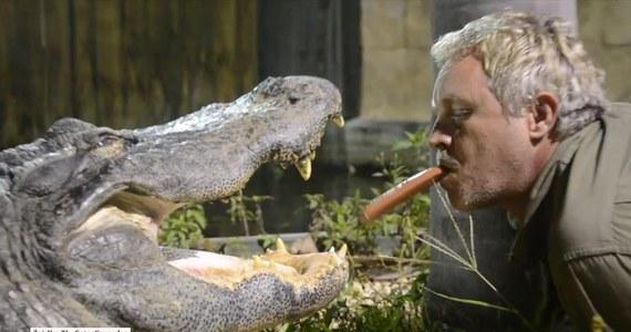 To się dopiero nazywa odwaga! Mężczyzna postanowił nakarmić aligatory parówkami. Może nie byłoby w tym nic dziwnego gdyby nie fakt, że podawał je gadom… prosto ze swoich ust! Całe zdarzenie zarejestrował też na kamerze GoPro.