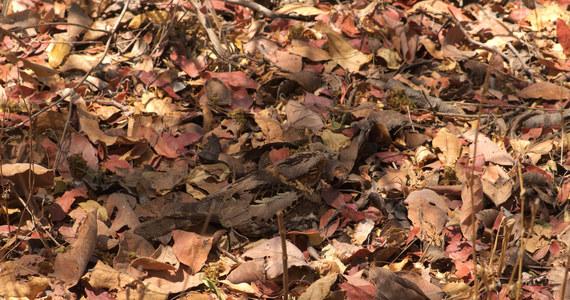 """Ptaki wykorzystujące do ochrony maskujące upierzenie potrafią zaskakująco indywidualnie dopasowywać miejsce gniazdowania do barwy i wzoru swoich własnych piór - przekonują na łamach czasopisma """"Nature Ecology and Evolution"""" naukowcy z Uniwersytetów w Exeter i Cambridge. Wyniki badań prowadzonych na terenie Zambii wskazują, że gniazdujące na ziemi gatunki, jak lelek, siewka, czy rączak dokładnie wiedzą, jak wyglądają i dzięki temu potrafią niemal idealnie wybrać miejsce, które zapewni im najlepszy kamuflaż."""