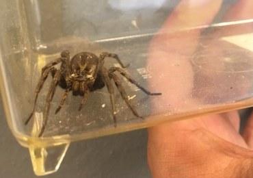 Wrócił z urlopu w Chorwacji. Przywiózł jadowitego pająka w bagażniku