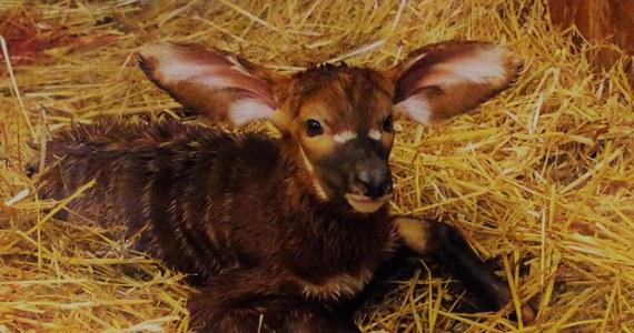 Urodziła się kilka dni temu i pierwsze dni spędziła u boku swojej opiekuńczej mamy. W warszawskim ogrodzie zoologicznym przyszła na świat antylopa bongo. Jeszcze w tym tygodniu będzie można ją zobaczyć na wybiegu.