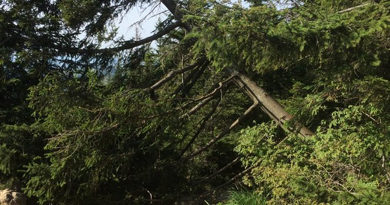 Kolejny akt bezsensownego wandalizmu w Tatrzańskim Parku Narodowym. Ktoś, prawdopodobnie maczetą, ściął dorodnego świerka i przewrócił go na szlak turystyczny na szczycie Nosala. Dyrektor Tatrzańskiego Parku Narodowego Szymon Ziobrowski nazywa to skrajną głupotą.