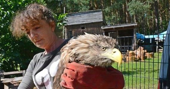 Był cały wymazany tłustym błotem i nie miał siły lecieć. Wycieńczonego bielika znaleźli niedaleko Świnoujścia myśliwi patrolujący las w poszukiwaniu kłusowników i zastawianych przez nich sideł. Ptak otrzymał fachową pomoc.