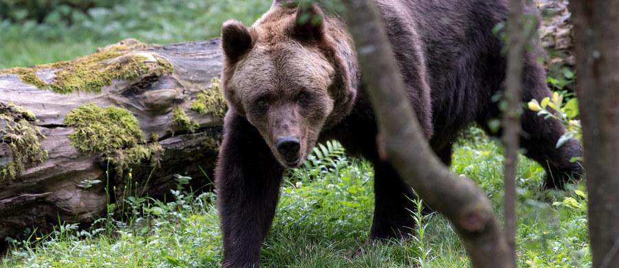 Ministerstwo środowiska Rumunii wydało zgodę na odstrzelenie lub przemieszczenie 140 niedźwiedzi i 97 wilków z powodu ataków na ludzi, a także z powodu szkód wyrządzanych przez zwierzęta. Decyzja została podjęta pomimo sprzeciwu ekologów.