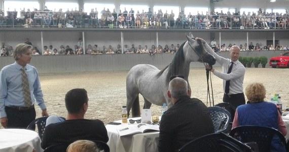 Za 73 tysiące euro sprzedano 8 koni na Krakowskiej Aukcji Koni Arabskich w małopolskich Michałowicach. Najdroższa klacz, Gaja Wenus, została sprzedana za 12 tysięcy euro właścicielowi z Portugalii.