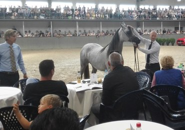 Krakowska Aukcja Koni Arabskich zakończona. Sprzedano 8 koni