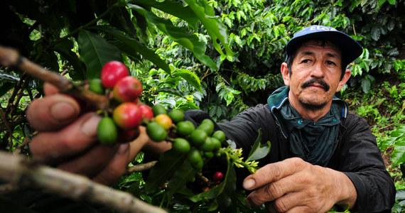 """Do połowy XXI wieku ocieplenie klimatu zmniejszy obszar upraw kawy w Ameryce Łacińskiej nawet od 73 do 88 procent - alarmuje na łamach czasopisma """"Proceedings of the National Academy of Sciences"""" międzynarodowy zespół naukowców. Będzie to miało znaczenie nie tylko dla milionów miłośników kawy na całym świecie, ale i dla milionów ludzi, którzy z uprawy kawy się utrzymują. To wnioski z pierwszych tak szeroko zakrojonych badań, dotyczących wpływu klimatu nie tylko na uprawę kawowców, ale też na populację pszczół, bez których ta uprawa nie jest możliwa. Okazuje się, że pszczoły mogą pomóc złagodzić kryzys."""