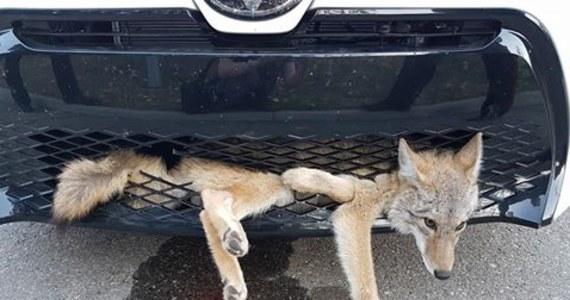 Niecodzienny wypadek w pobliżu kanadyjskiego Calgary. Kierująca samochodem kobieta potrąciła kojota. Była przekonana, że zwierzę nie żyje. Po ponad 30 kilometrach zorientowała się, że kojot przejechał całą drogę wetknięty w zderzak jej auta.