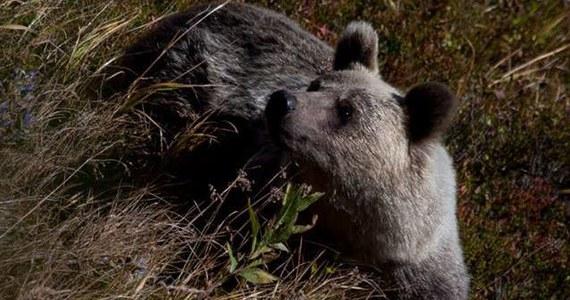 """Niedźwiedzica z trójką młodych odwiedziła mieszkańców ulicy Bogdańskiego w Zakopanem. Także Słowacy skarżą się, że niedźwiedzie coraz częściej odwiedzają ich miasta i to już nie tylko u podnóża Tatr, ale też w głębi kraju. Twierdzą, że może to być zapowiedź srogiej i wczesnej zimy. """"To nie wczesna zima, a źle zabezpieczone śmieci sprowadzają niedźwiedzie do miasta"""" – mówi w rozmowie z reporterem RMF FM Filip Zięba z Tatrzańskiego Parku Narodowego."""