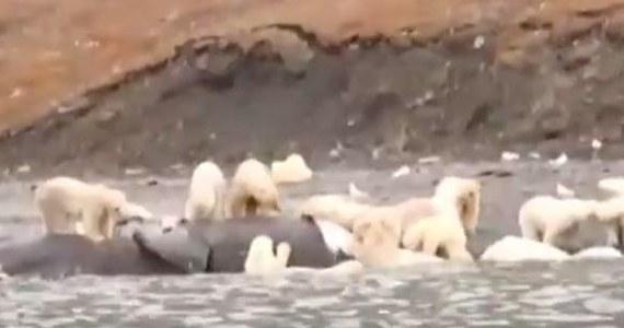 W Czukotce, na wyspie Wrangla, 230 białych niedźwiedzi zwabił... martwy wieloryb. Takiego skupiska drapieżników nie obserwowano od lat.