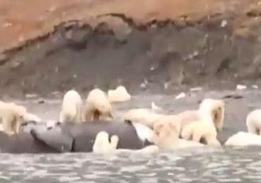 230 niedźwiedzi zjada... martwego wieloryba. Takiego skupiska nie obserwowano od lat