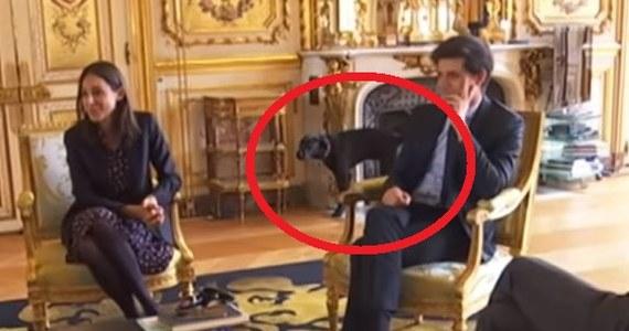 Pies prezydenta Francji na nagłówkach gazet na całym świecie. A to za sprawą… fatalnego zachowania. Kamera filmująca spotkanie Emmanuela Macrona z ministrami w Pałacu Prezydenckim uchwyciła moment, jak pies podnosi nogę przy zabytkowym kominku.