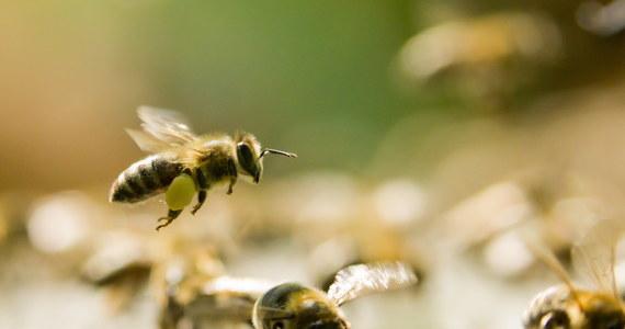 """""""Jesteśmy w ostatnim momencie, w którym możemy podjąć strategiczną decyzję dla naszego kraju: jak będziemy chronić owady zapylające. Żebyśmy nie doprowadzili do takiej sytuacji, jaka jest w Niemczech, czy w Wielkiej Brytanii, czy we Francji, gdzie tych owadów się nie chroni. Tam te owady trzeba już ratować"""" - mówi w rozmowie z RMF FM Katarzyna Jagiełło, zajmująca się w Greenpeace Polska między innymi ochroną pszczół. Organizacja prowadzi debaty obywatelskie poświęcone problemowi. Dyskusje odbyły się już w Gdańsku i Bydgoszczy, kolejne planowane są w Lublinie i Wrocławiu. Celem rozmów jest przedstawienie wniosków naukowcom, którzy pracować będą nad Narodową Strategią Ochrony Owadów Zapylających."""