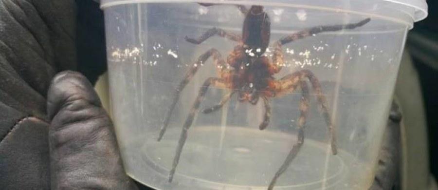 W jednym ze sklepów spożywczych w warszawskim Wawrze znaleziono egzotycznego pająka. Zwierzę ukryło się pomiędzy bananami, które przypłynęły do Polski z Ameryki Środkowej. Pracownicy sklepu sami odłowili pająka i umieścili go w plastikowym pojemniku.