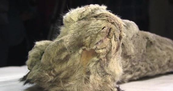 """Dobrze zachowane ciało lwa jaskiniowego znaleźli naukowcy z Jakuckiej Akademii Nauk. Trzymiesięczne zwierzę zamarzło prawdopodobnie 50 tys. lat temu. Ciało lwa jest w """"bardzo dobrym"""" stanie, jak mówią członkowie Akademii. W 2015 roku w Jakucji znaleziono dwa podobne okazy tych zwierząt. Lwy jaskiniowe żyły w środkowym i późnym plejstocenie."""