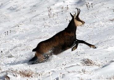 Ile kozic jest w Tatrach? TPN już wie