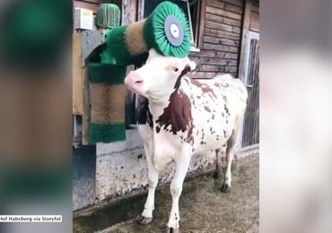 Tak wygląda szczęśliwa krowa. Wystarczy jej automatyczna szczotka do drapania