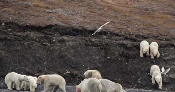 Patrząc z daleko, ktoś mógłby pomyśleć, że to stado owiec na zboczu wzgórza. To niedźwiedzie polarne na wyspie Wrangler na północnych krańcach Rosji. Spieszą na ucztę. Fale wyrzucił na plażę martwego wieloryba.