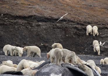 Co za uczta! Dziesiątki niedźwiedzi polarnych zjadają wieloryba