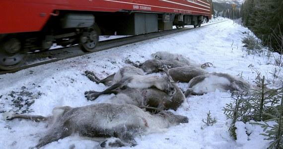 Hodowcy reniferów w północnej Norwegii skarżą się, że w ciągu tylko ostatnich trzech dni pod kołami pociągów zginęło ponad 100 sztuk tych zwierząt.