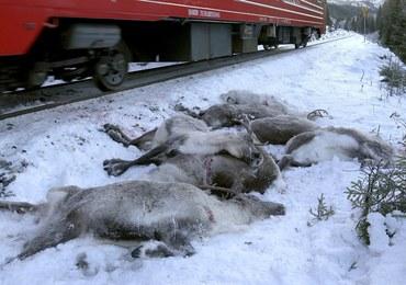 W ciągu 3 dni pod kołami pociągów w Norwegii zginęło ponad 100 reniferów