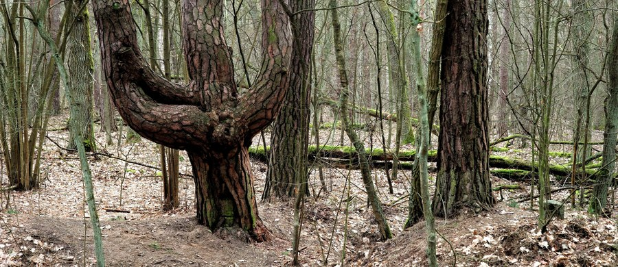 Siedem organizacji pozarządowych w tym m.in. Greenpeace i ClientEarth Prawnicy dla Ziemi złożyło do Komitetu Aarhus skargę na Polskę ws. zarządzania lasami. Resort środowiska na razie nie komentuje sprawy.