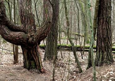Ekolodzy skarżą Polskę za sposób zarządzania lasami