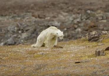 Ten film wyciska łzy. Umierający niedźwiedź polarny szuka jedzenia na wysypisku