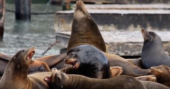W części zatoki San Francisco wprowadzono zakaz kąpieli. Powodem są odnotowane w ostatnich dniach ataki agresywnych lwów morskich na pływaków.