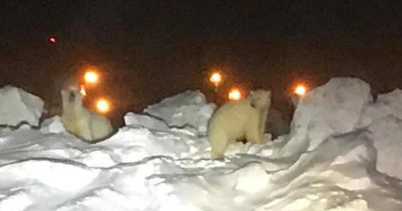 Dla pracowników większości lotnisk na świecie prawdziwą zmorą są ptaki, które zagrażają bezpieczeństwu startujących i lądujących samolotów. Nie na Alasce. Tam po pasie startowym lotniska w Utqiagvik biegają... niedźwiedzie polarne.