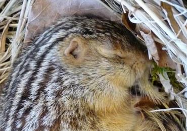 Gryzonie, które hibernują, inaczej odczuwają zimno
