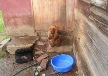 Wyjechał na święta. Zostawił psy na łańcuchu, bez jedzenia i wody