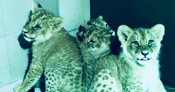 Rośnie rodzina lwów w Gdańsku. Cztery młode lwiątka angolskie przyszły na świat w gdańskim ogrodzie zoologicznym.