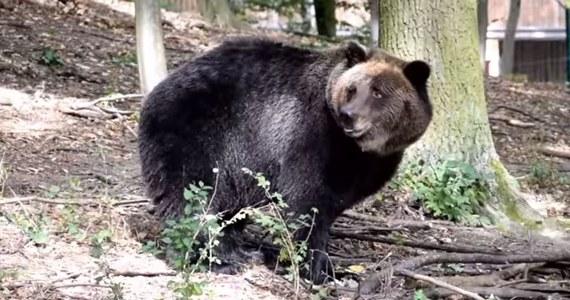 Niedźwiedzica Gienia z poznańskiego zoo zbudowała gawrę - taką jak w prawdziwym lesie. Pracownicy ogrodu: To sprawa absolutnie wyjątkowa!