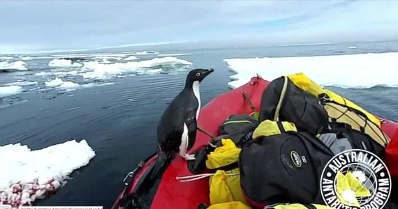 Zespół australijskiej ekspedycji na Antarktydzie (Australian Antarctic Division) został zaskoczony przez pingwina, który nagle wyskoczył spod kry unoszącej się na oceanie i wskoczył na ich łódź. Australijczycy przepływali przez popękany lód morski, wtedy pingwin wskoczył na burtę, wykonał kilka nerwowych ruchów i zanurkował z powrotem w oceanie.
