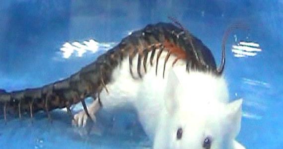 """Chińscy badacze odkryli tajemnicę jadu groźnej stonogi Scolopendra subspinipes mutilans. Ukąszenie tego stawonoga może być śmiertelne dla drobnych gryzoni, wyjątkowo bolesne i w szczególnych warunkach także groźne nawet dla człowieka. Wyniki badań opublikowanych na łamach czasopisma """"Proceedings of the National Academy of Sciences"""" wskazują, że jad zaburza działanie układu krążenia i oddechowego, blokując działanie kanałów potasowych komórek. Co ciekawe, rolę antidotum może pełnić przywracający aktywność kanałów potasowych popularny lek przeciwko padaczce."""