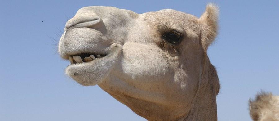 12 wielbłądów zostało zdyskwalifikowanych z organizowanego w Arabii Saudyjskiej konkursu piękności tych zwierząt. Powodem było… użycie botoksu.