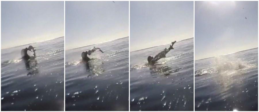 Grupa znajomych z San Diego w Kalifornii w USA podczas pływania na desce z wiosłem, czyli tak zwanego paddleboardingu, dostrzegła, że coś szamocze się w wodzie. Podpłynęli bliżej, by zobaczyć co się dzieje. Dostrzegli wtedy fokę, która schwytała rekina. Usiłowała go zabić, a później zjeść. Autor nagrania nie był w stanie określić gatunku rekina, ale oszacował jego długość na około 1,5 m.