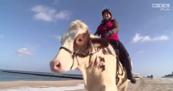 Mambo jest krową mieszkającą w niemieckim Wołogoszczu nad Bałtykiem. Jej ulubionym zajęciem jest kłusowanie po plaży z właścicielką na grzbiecie. Choć Mambo nie jest wysportowana jak koń, to swoje fizyczne braki uzupełnia ogromnym entuzjazmem, jaki wykazuje podczas przebieżek. Razem z właścicielką marzy, aby latem wybrać się w podróż po Europie zwiedzając ojczyste Niemcy i sąsiednie kraje.
