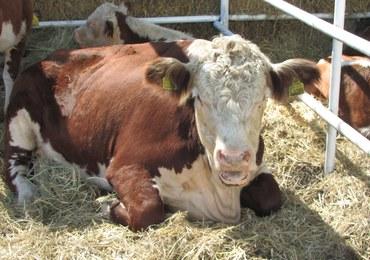 NIK: Nie ma kontroli nad podawaniem antybiotyków w hodowli zwierząt