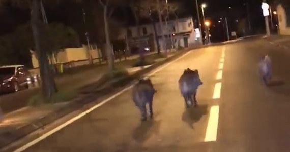Coraz większa inwazja dzików w Marsylii we Francji. Te dzikie zwierzęta zaczęły masowo pojawiać się na ulicach miasta - a nawet wokół domów przerażonych mieszkańców - w poszukiwaniu żywności, której z powodu suszy zaczęło brakować w pobliskim Parku Narodowym Calanques.