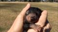 Ten malutki diabeł tasmański kocha pieszczoty