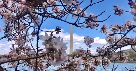 Waszyngton, amerykańska stolica. Centrum polityczne świata. Miasto w którym są ciekawe, darmowe muzea. Miasto w którym stoją pomniki upamiętniające wielu amerykańskich prezydentów. I wreszcie miasto, które wiosną obsypane jest kwiatami. Właśnie teraz trwa Festiwal Kwitnącej Wiśni. Zapraszamy na spacer z naszym korespondentem Pawłem Żuchowski.