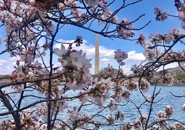 Te zdjęcia zapierają dech w piersi. Festiwal Kwitnącej Wiśni w Waszyngtonie