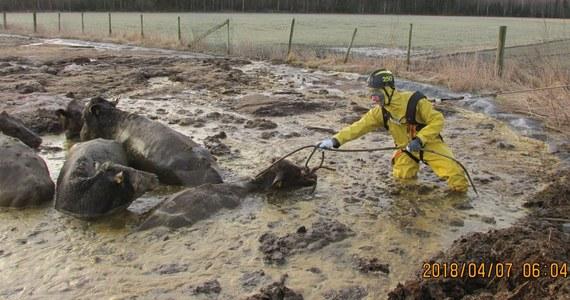 """Sześć krów było bliskich utonięcia w gnojówce na skraju pastwiska we wsi Ljungby w Szwecji. Na ratunek ruszyli im strażacy. O ich heroicznej walce o życie tonących w oborniku zwierząt pisze dziennik """"Expressen""""."""