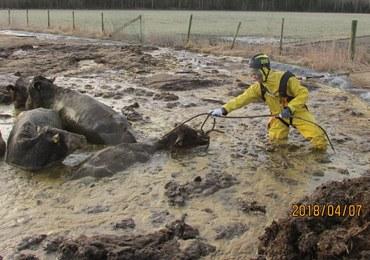 Strażacy uratowali krowy tonące w… oborniku. Internauci zachwyceni: Gów…na robota, panowie!