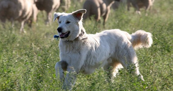 Po ponad dwóch tygodniach przymusowego pobytu w schroniskach dla zwierząt do domu na północy Włoch powrócił pies odebrany właścicielom za to, że za głośno szczeka. Decyzję o uwolnieniu czworonoga podjął sąd. Petycję w obronie psa podpisało 240 tys. osób.
