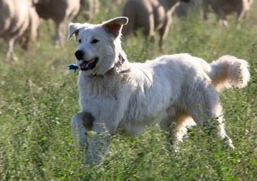 Włoski sąd nakazał uwolnienie psa, który za głośno szczekał